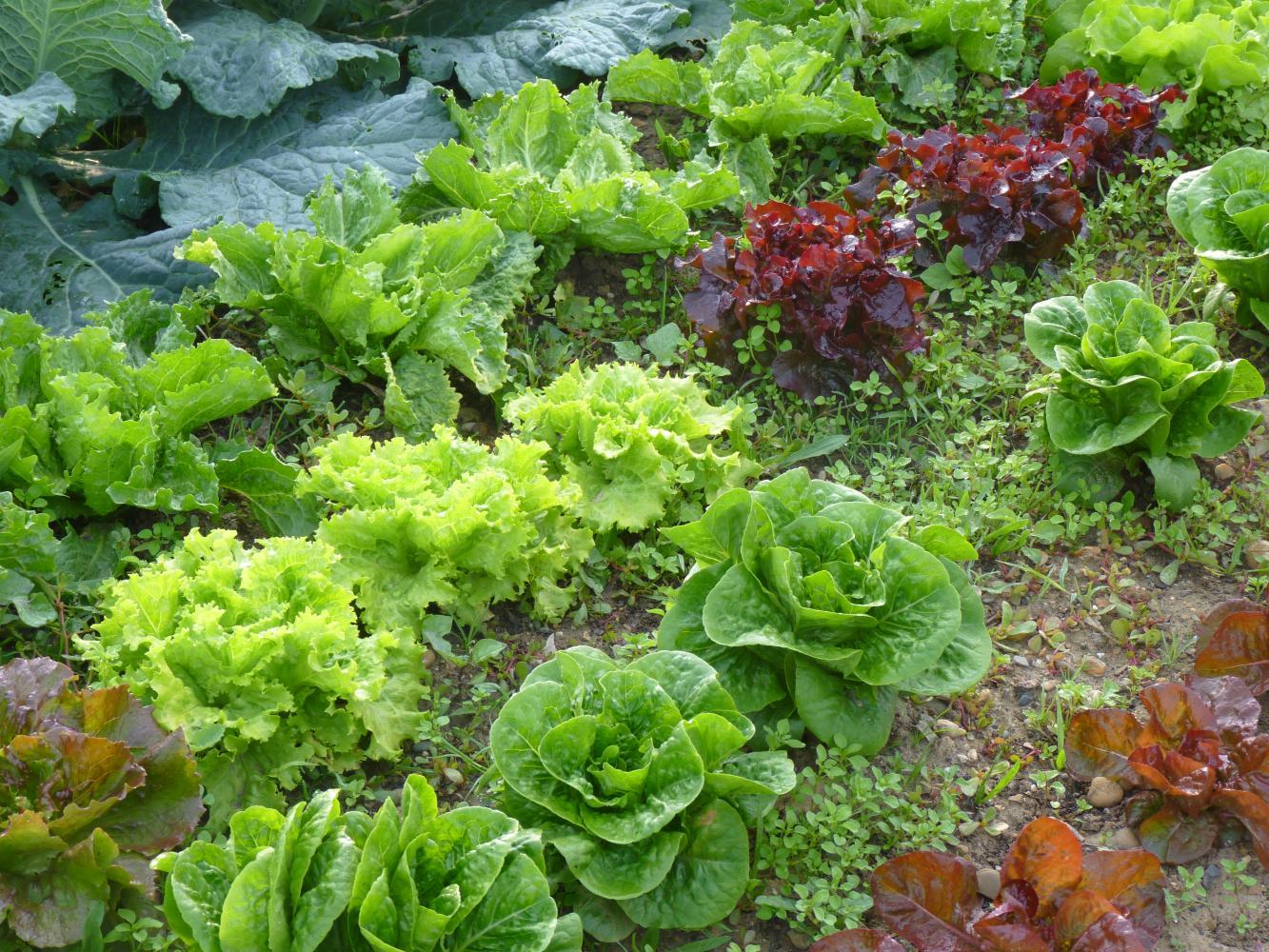 Production de salades