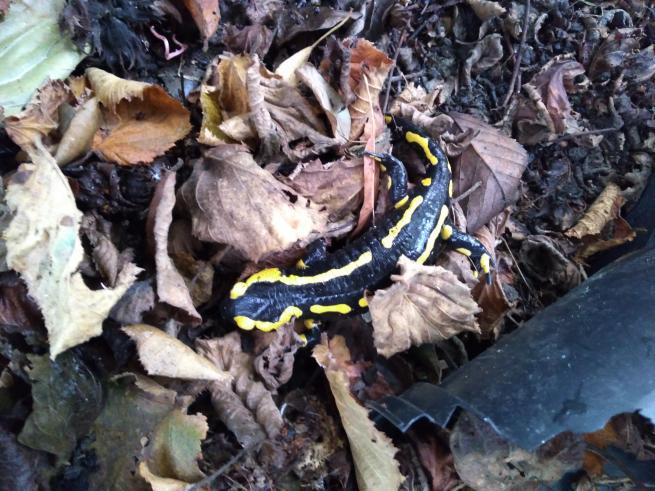 salamandre cherchant à hiverner