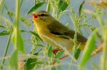 Audiothèque : chants d'oiseaux