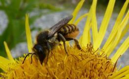 Megachile versicolor