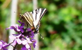 papillon Flambé sur julienne des dames