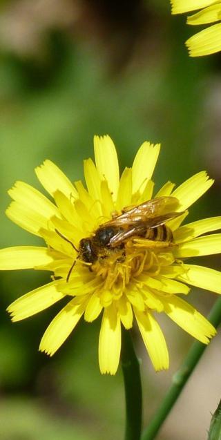 abeille solitaire (Hallicte)
