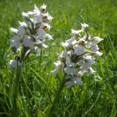 Orchis lactée à fleurs blanches