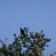 Corneille noire mâle