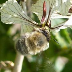 anthophore (abeille solitaire)