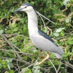 heron bihoreau gris